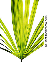 Green leaf of fan palm isolated on white.
