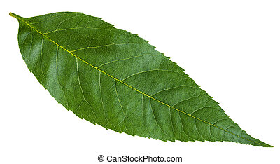 green leaf of Fraxinus excelsior tree isolated - green leaf...