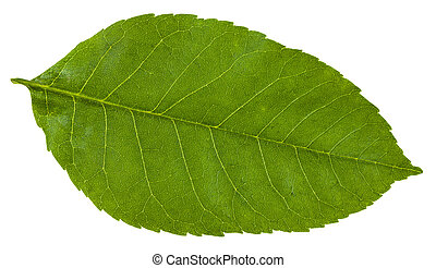 green leaf of Fraxinus ornus tree isolated - green leaf of...