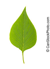 green leaf of lilac on a white background, isolated
