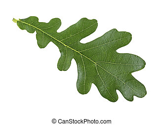 Green leaf of oak isolated on a white background