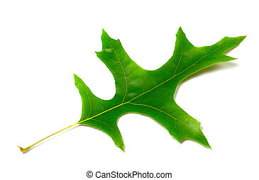 Green leaf of oak (Quercus palustris)