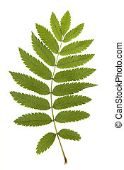 Green leaf of rowan bush isolated on a white background