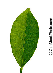green leaf of tangerine tree, isolated on white