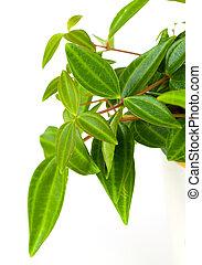 green leaf of tradescantia pot plant