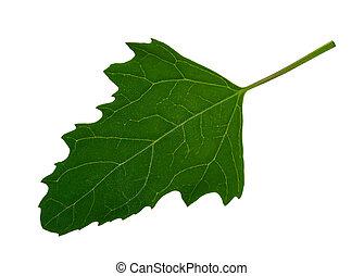 Green leaf of Twoscale saltbush (Atriplex micrantha)