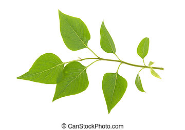green leaf on a lilac branch on a white background, isolated