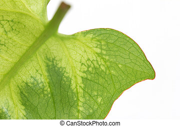 green leaf on a white background. macro