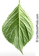 green leaf on a white background