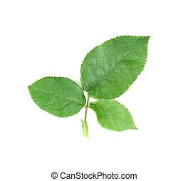 green leaf on a white
