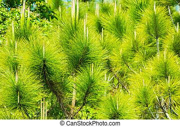 Green leaf pine tree