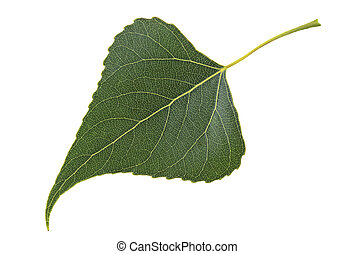 Green leaf poplar isolated on a white background