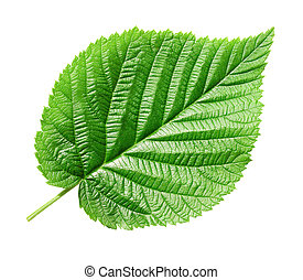 Green leaf. - Single green leaf on white background...