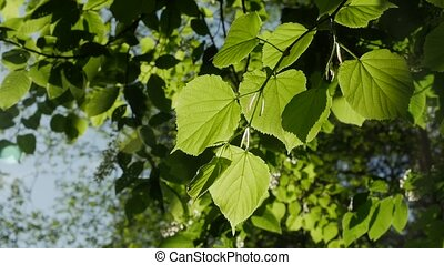 Green leaf the sunny day, close-up. - Green leaf the sunny...