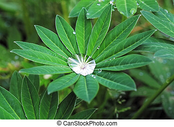 Green leaf with drops - lupinus. - Clear raindrops...