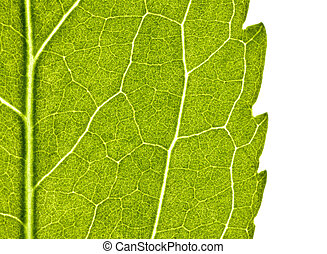 green leaf with structure in close up