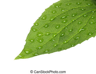Green leaf with water drops on white background