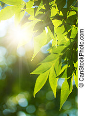 Green leafe of maple in sunny day. - Green leafe in sunny ...