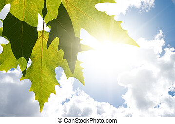Green leafe of maple in sunny day. - Green maple leafe in ...