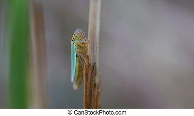 Green leafhopper - climbs down - macro shot - Green...