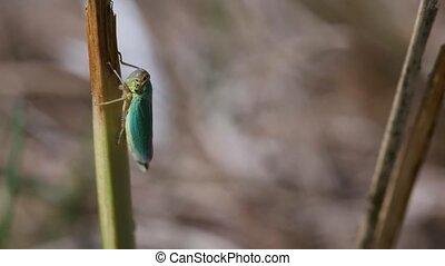 Green leafhopper - macro shot - top view - Green leafhopper...