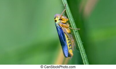 Green leafhopper wriggling and jumping away - macro shot -...