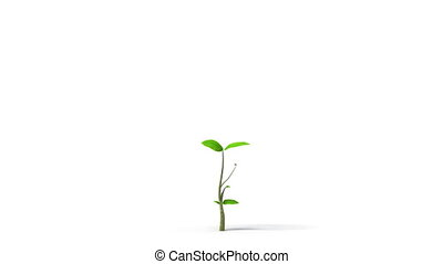 Green leafs tree growing, HD, alpha - Growing tree on white...