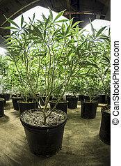 Rows of indoor marijuana plants in pots under lights