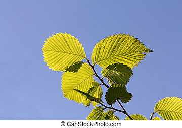 Green leaves against blue sky - Ecology