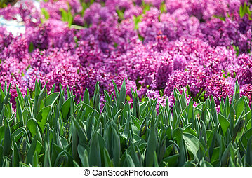 Green leaves and purple flowers