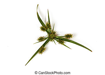 Green Leaves and Seed Pod Heads of Wild Grass