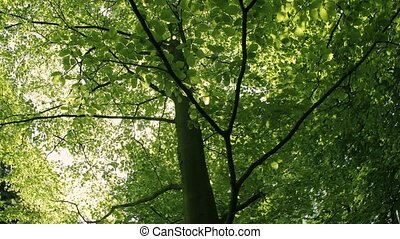 Green leaves and sunlight - Green leaves of a tree, sunlight...