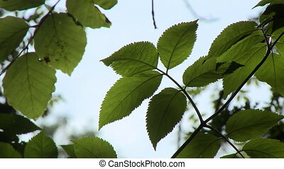 Green Leaves and Vine - Steady, low angle, close up shot of...
