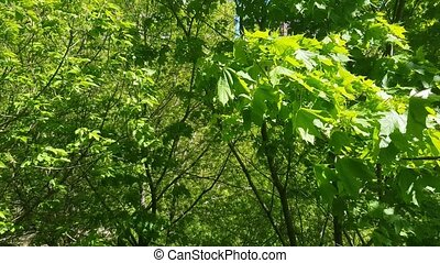 Green leaves and wind - Bright green leaves of a deciduous...
