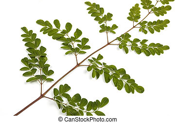 Green Leaves and Yellow Speckles of  Moringa Tree 4