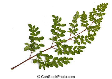 Green Leaves and Yellow Speckles of  Moringa Tree 5