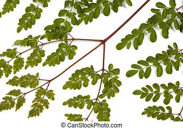 Green Leaves and Yellow Speckles of  Moringa Tree 2