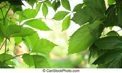 Green leaves as background