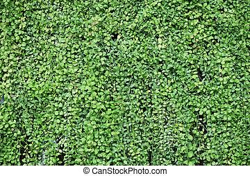Green leaves Asclepiadaceae