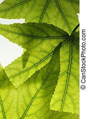 Green leaves background, backlit, close-up.