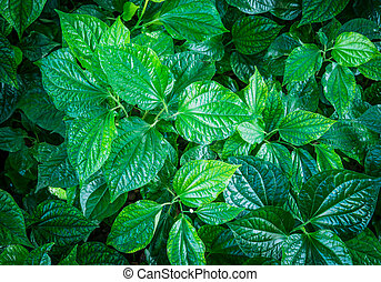 green leaves background from top view, Piper sarmentosum or ...