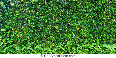 Green Leaves background of Ficus annulata or Banyan Tree Leaf