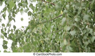 Green leaves birch gloomy day. Close up - Green leaves...