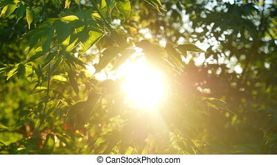 Green leaves branch sun - Green leaves background beautiful...