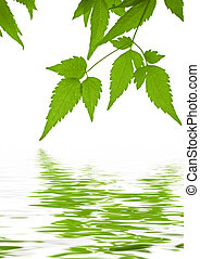 Green leaves clematis reflected in water