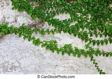 green leaves Climbers stick to the old cement wall