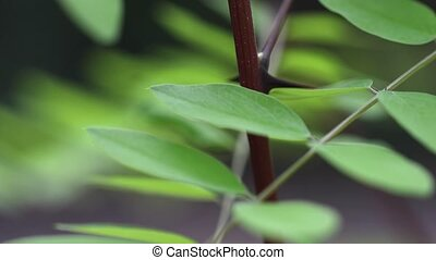 Green leaves fresh in spring - Leaves and twigs closeup on a...