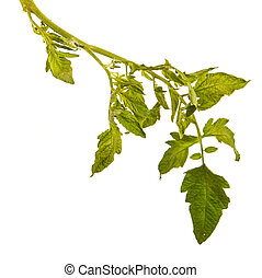 Green leaves from a bush of tomatoes. Isolated on white