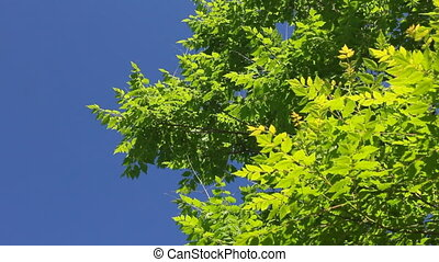 Green leaves (Full HD) - Green leaves on a blue sky...