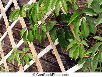 Green leaves hovering on the lattice